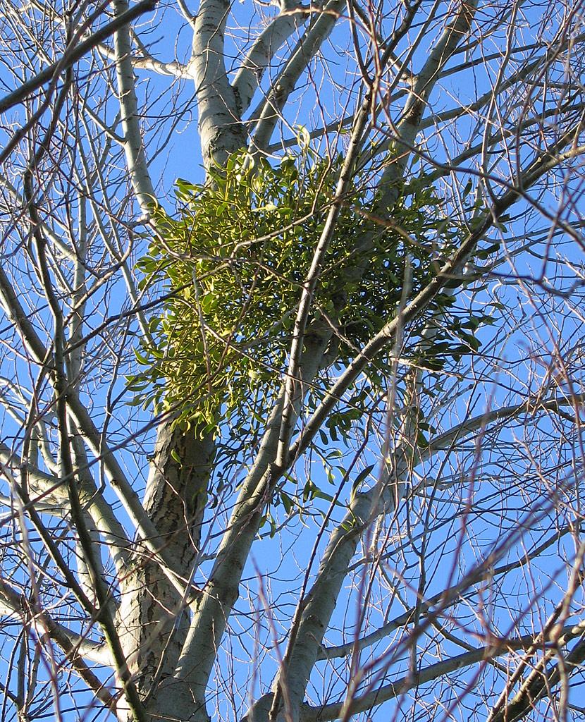 cây tầm gửi